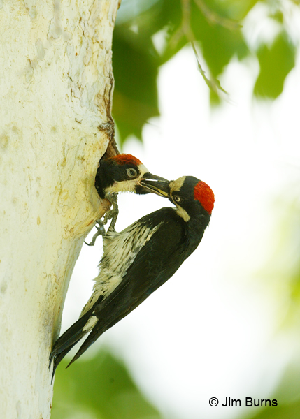 Acorn Woodpecker female feeding male nestling