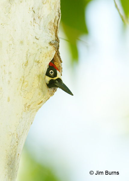 Acorn Woodpecker male in sycamore hole