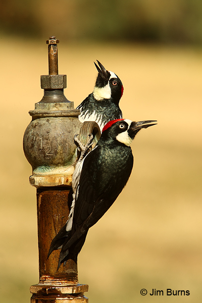 Acorn Woodpecker pair at water spigot