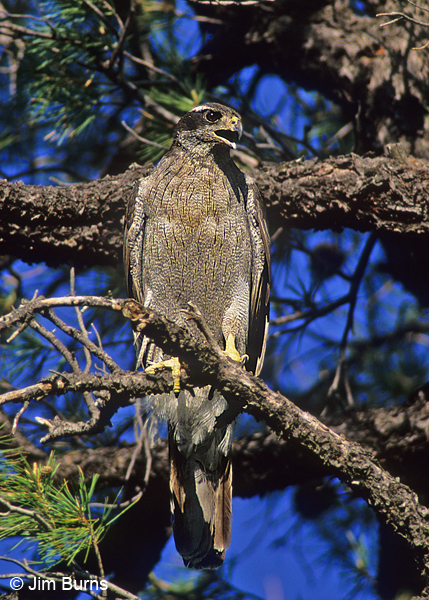 Northern Goshawk adult