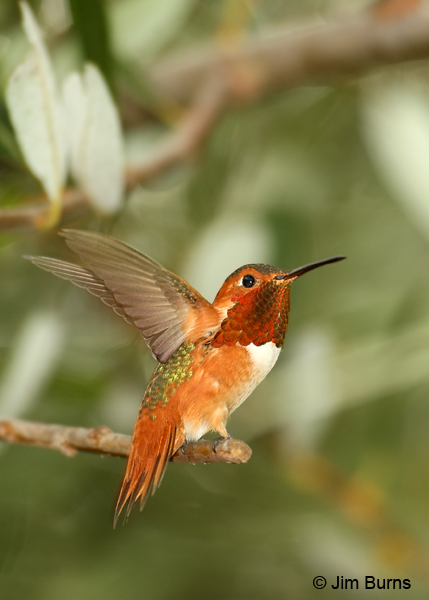 Allen's Hummingbird male diagnostic lanceolate tail feathers