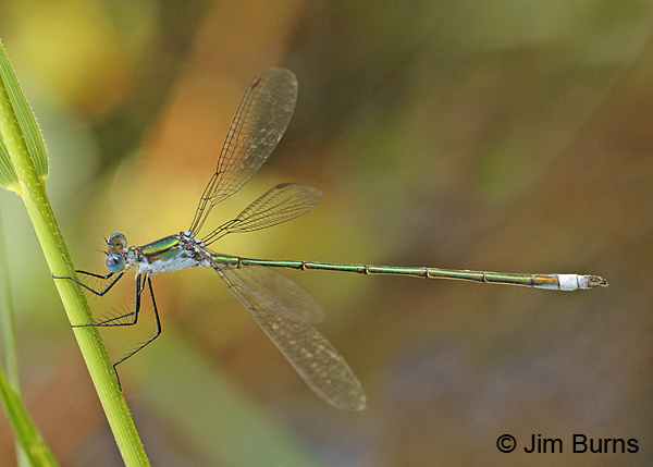 Amber-winged Spreadwing male, Washington Co., ME, July 2014