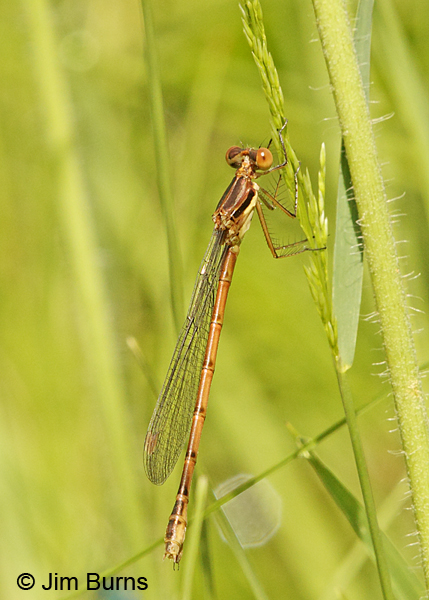 Amber-winged Spreadwing teneral female, Washington Co., MN, June 2014