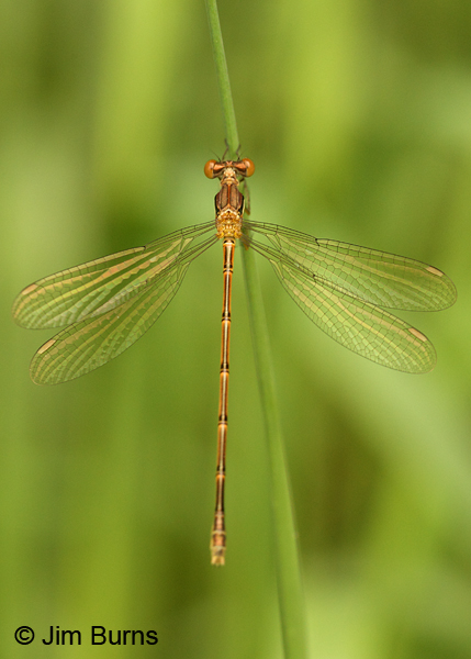 Amber-winged Spreadwing teneral female showing amber wings, Washington Co., MN, June 2014