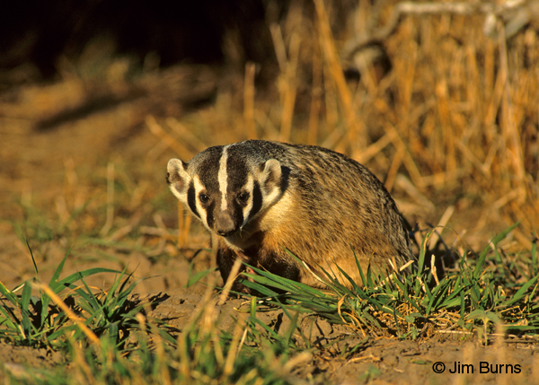 American Badger at sunrise