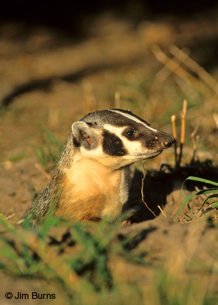 American Badger emerging from den