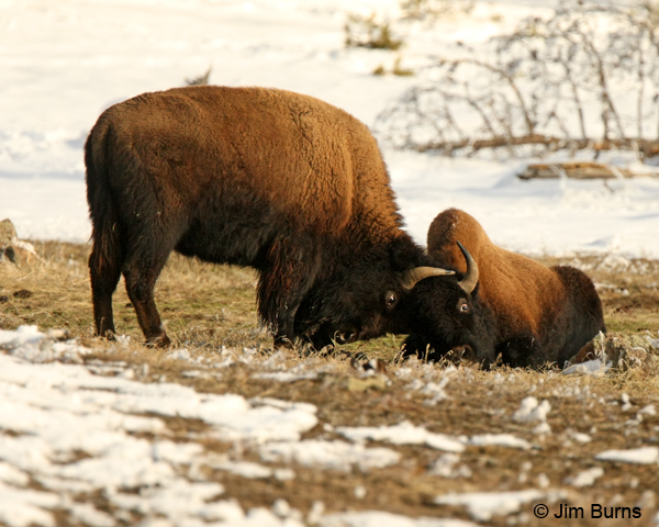 American Bison at play