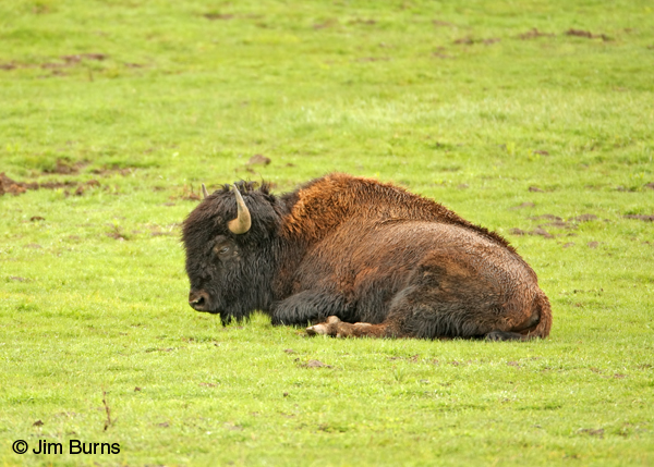 American Bison at rest