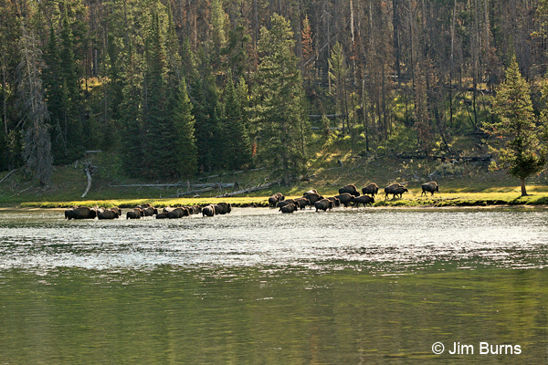 American Bison exiting the Yellowstone