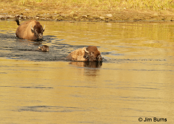American Bison family in the river
