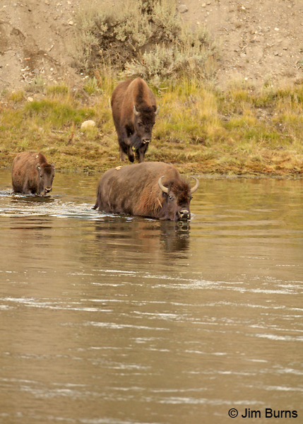 American Bison family entering the river