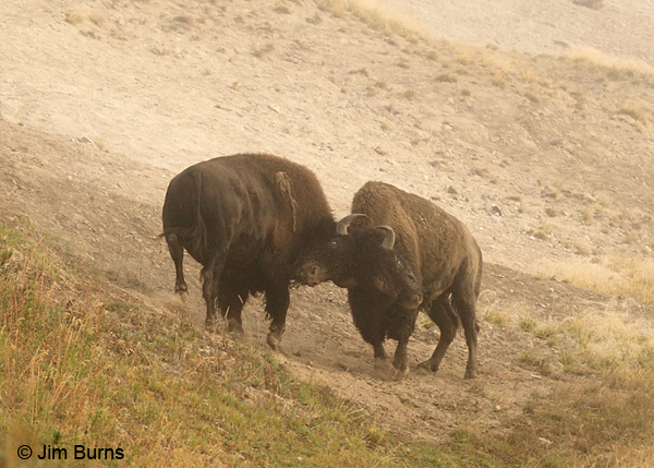 American Bison negotiations
