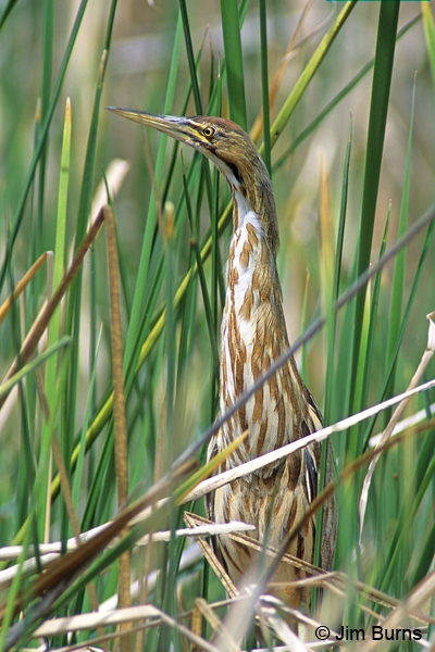 American Bittern camouflage in plain sight