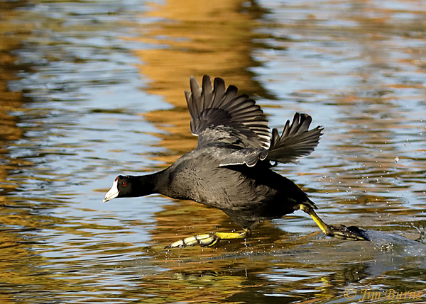 American Coot walking on water--1766.tif