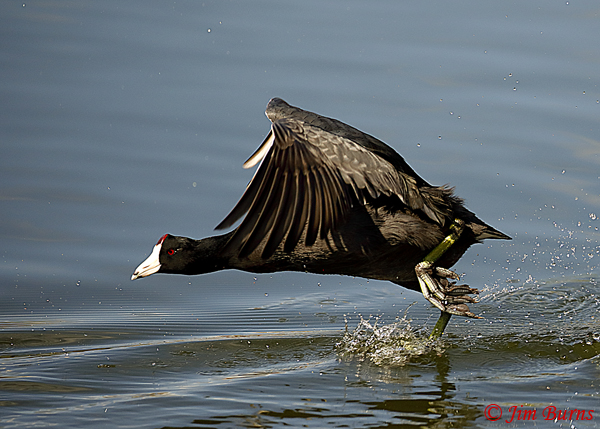 American Coot running on water--1866