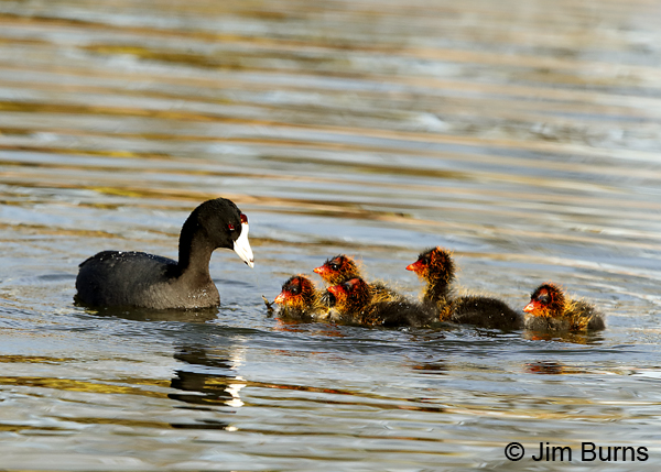 American Coot family, party of six 6810