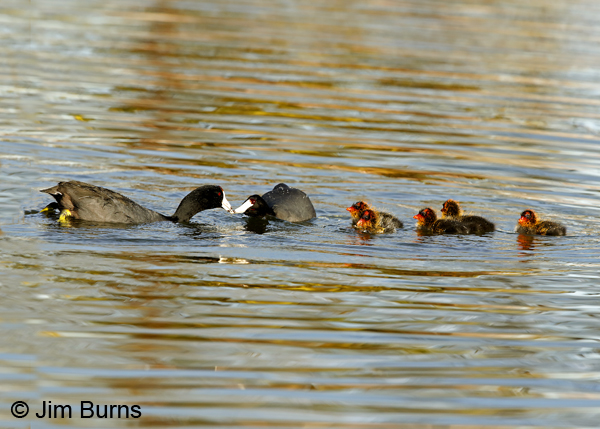 American Coot family, party of seven 6813