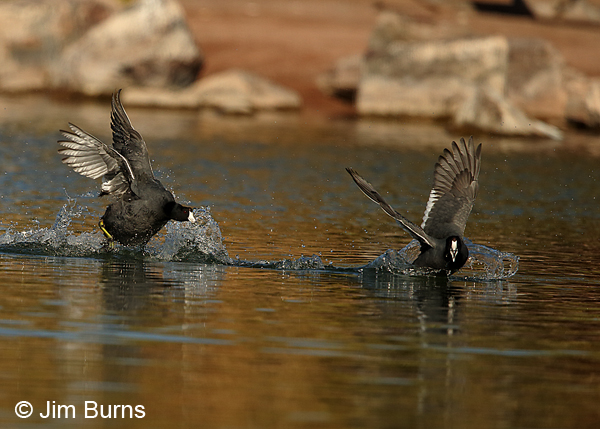 American Coot agonistic behavior