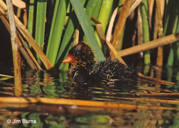American Coot baby