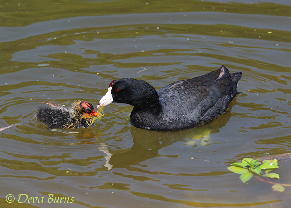 American Coot feeding baby #2