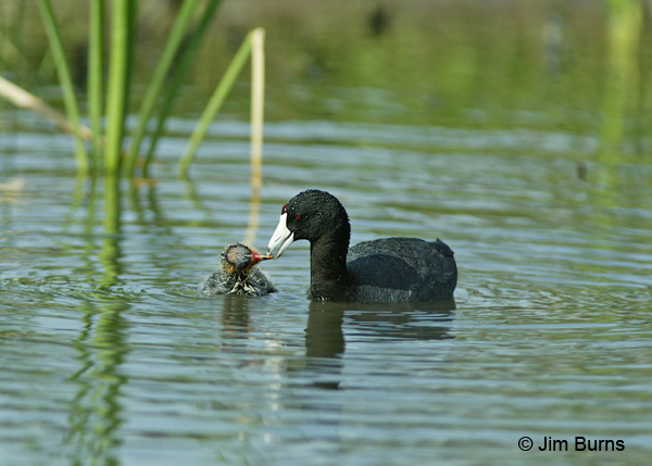 American Coot feeding baby