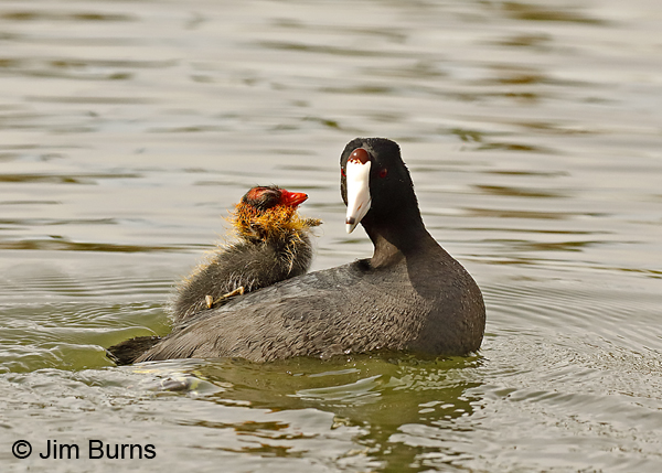 American Coot hitching a ride 6933