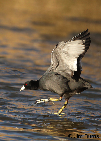 American Coot landing gear down