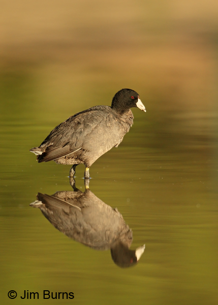 American Coot reflection