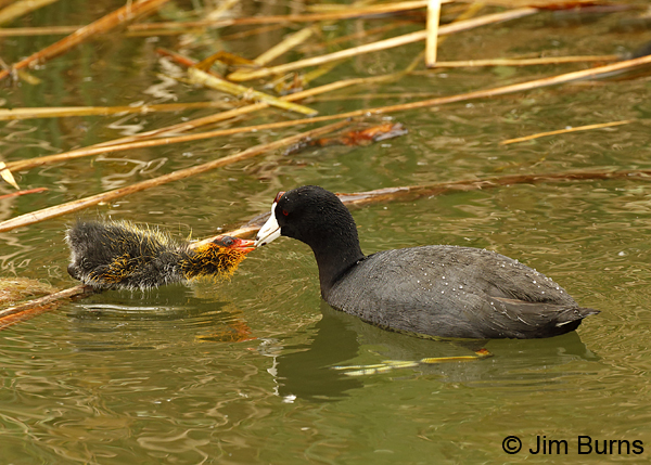 American Coot breakfast with nestling 6877