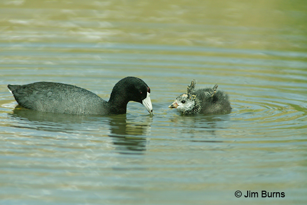 American Coot with baby