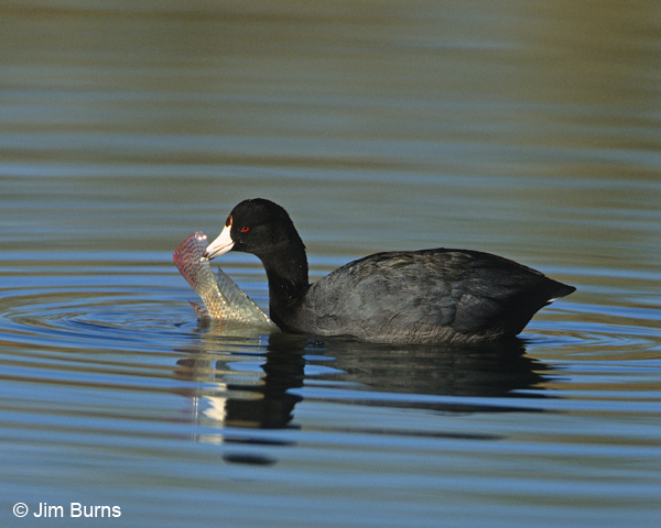 American Coot with fish
