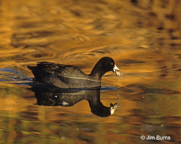 American Coot with frog