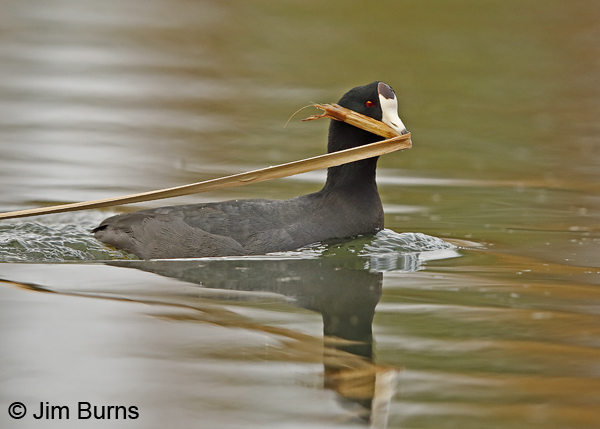 American Coot with nesting material #2