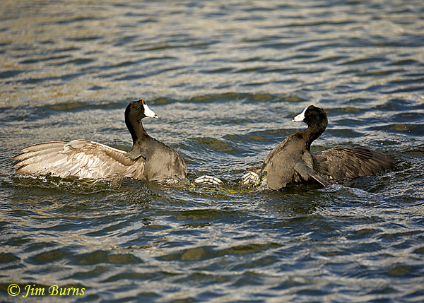 American Coots, the face off--2008
