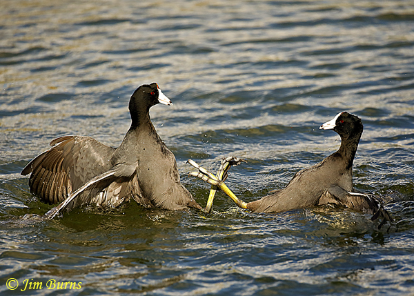 American Coots, the battle begins--2010