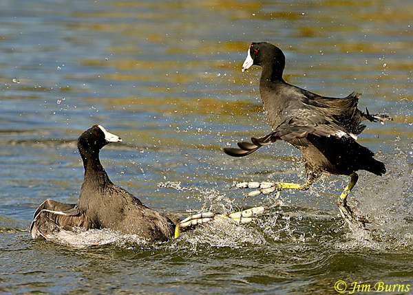 American Coots, gaining the upper hand--2137