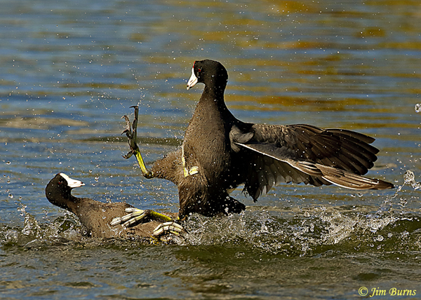 American Coots, submission--2138