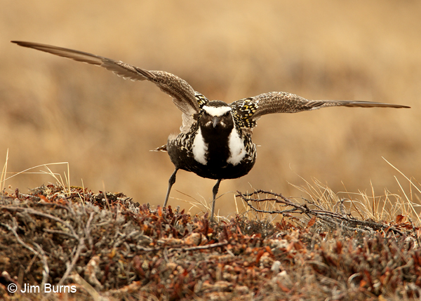 American Golden-Plover female broken wing display