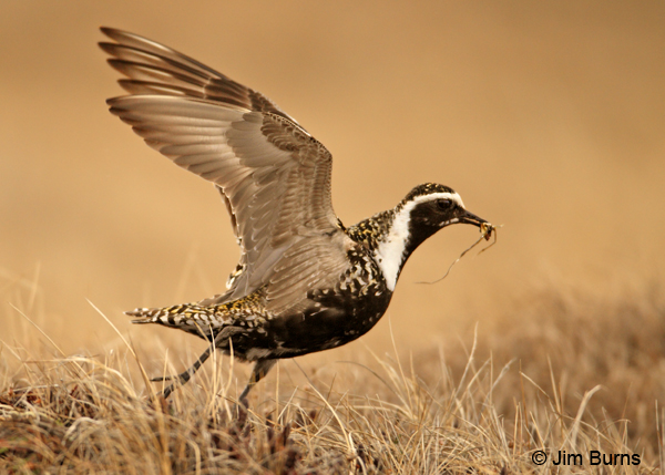 American Golden-Plover female carrying tundra debris