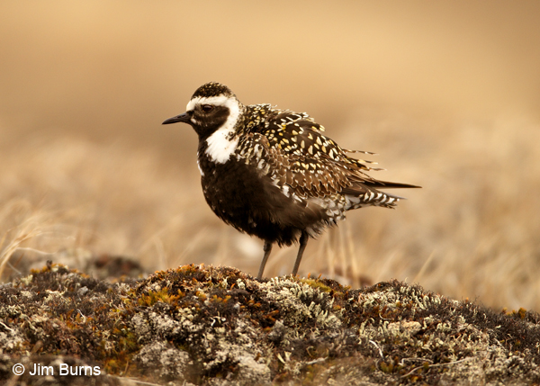 American Golden-Plover female alternate plumage