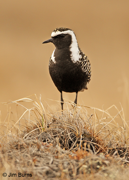 American Golden-Plover male on tundra mound