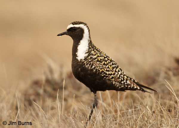 American Golden-Plover male water drop