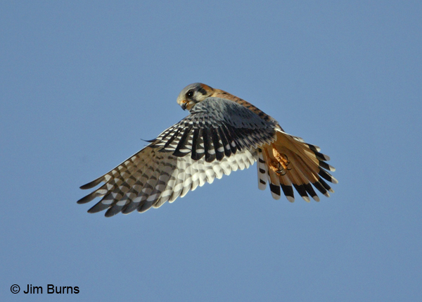 American Kestrel kiting