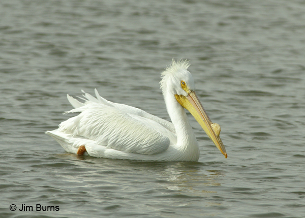 American White Pelican non-breeding plumage bad hair day
