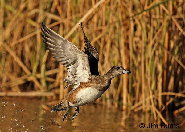 American Wigeon female taking off.