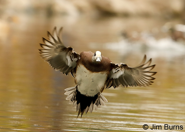 American Wigeon incoming