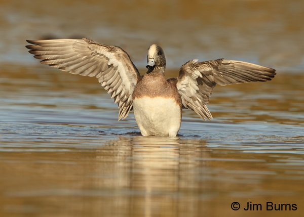 American Wigeon male wingstretch