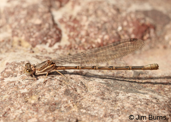Amethyst Dancer female, Cochise Co., AZ, July 2013