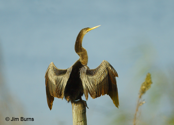Anhinga adult female drying wings