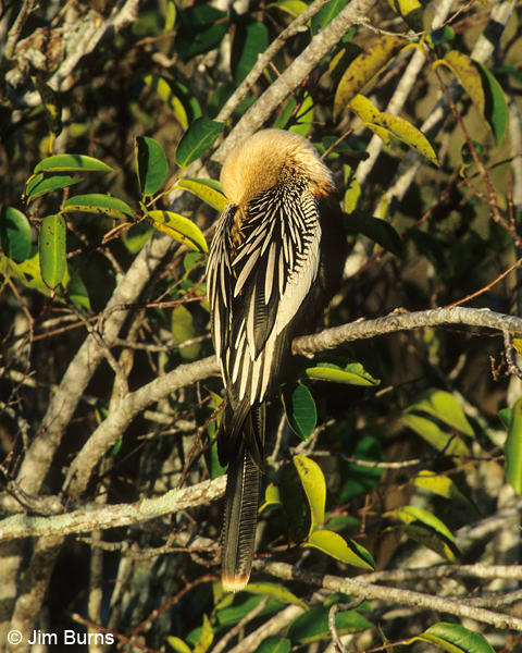 Anhinga adult female head tucked in sleeping